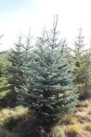 blue spruce tree farms with care trees in