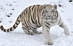 image 18546 white tiger in the 1920x1200 wallpaper