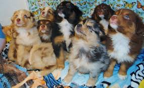 australian shepherd jacksonville fl shamrock rose aussies exciting news 2 litters welcome to