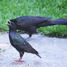 crackling gracklings and yellow billed starlings garden walk