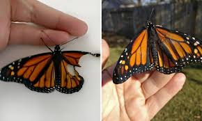 a repair a butterfly wing and see the monarch