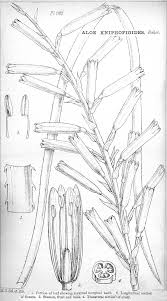 angiosperm families asphodelaceae juss