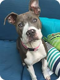 quanto custa um american pit bull terrier dallas ga pit bull terrier meet eve a dog for adoption http