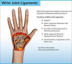 Joints Human Anatomy Wrist Joint Anatomy Bones Movements Ligaments Tendons