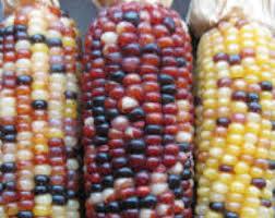 ornamental corn etsy
