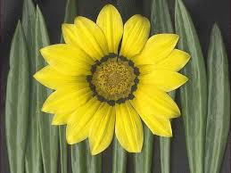 yellow daisy wallpapers yellow daisy wallpaper