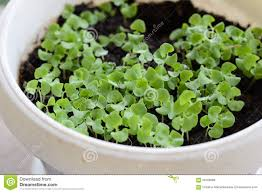 baby basil plants stock photo image 56769668