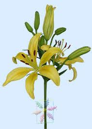 yellow lilies flower information cut flower flower shop network