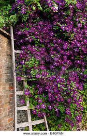 wall flowers clematis climbing wall flower stock photos clematis climbing wall