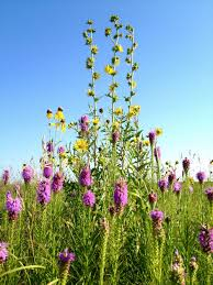 native iowa plants native plants and pollinator friendly habitat sogn valley farm
