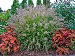 large ornamental grasses in the garden ways to split ornamental