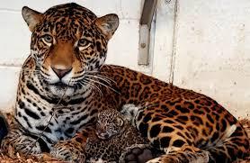 two jaguar cubs born at elmwood park zoo