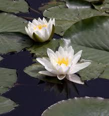 native pond plants aquatic and marginal plants british flora uk