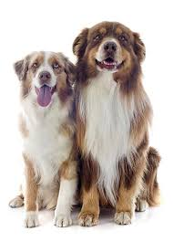australian shepherd youtube herding loving pets dog breed highlight australian shepherd
