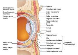 Eye Anatomy And Physiology Physiology Of Eye