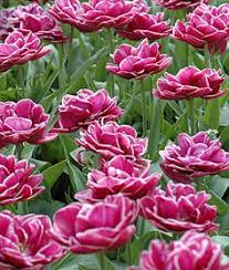 selections from the john scheepers beauty from bulbs dutch flower