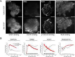time resolved multimodal analysis of src homology 2 sh2 domain