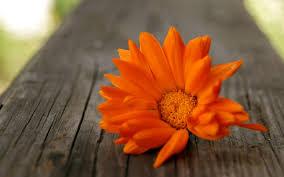 wallpaper hd orange download beautiful orange flowers hd wallpaper high quality