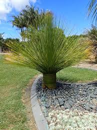 mexican grass tree dasyirion longissinum matakana palms