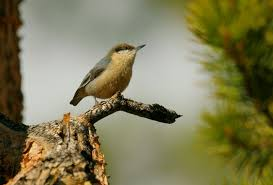 Nevada Birds images Monitoring birds in sierra nevada network parks u s national jpg