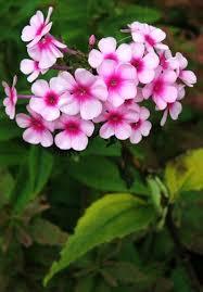 Phlox Flower Garden Phlox Phlox Paniculata Species Page