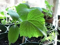 Trellis For Cucumbers In Pots Tips To Effectively Grow Cucumbers Indoors Gardenaware Com