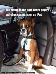 boxer dog funny 132 best boxer puppies images on pinterest boxer love animals