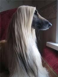 afghan hound trainability كلب هاديءس animals and pets pinterest beautiful pets and boys