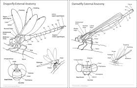 Male External Anatomy Anatomy Of Dragonfly Images Learn Human Anatomy Image