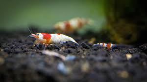 aquarium macro photography of ornamental shrimp