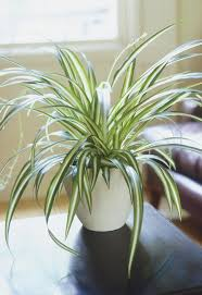 best 10 spider plants ideas on pinterest indoor house plants