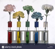 carnations showing the conduction of food coloring into petals of