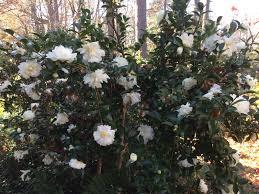 carol u0027s greenville nc garden