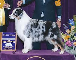 australian shepherd 2015 westminster chances u0027 r australian shepherds u2022 chance u0027s offspring