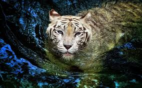 tiger 3d hd background wallpapers 6591 amazing wallpaperz