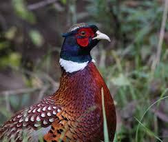 ringneckedpheasantts1 jpg 450 675 pixels pheasant pinterest