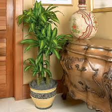 decorate with dracaena costa farms