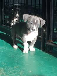 chihuahua pitbull mix full grown dog and cat