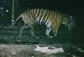 scientist environment tiger chews its leg to escape trap