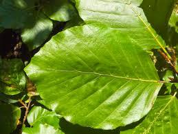 fagus sylvatica file fagus sylvatica leaf 001 jpg wikimedia commons