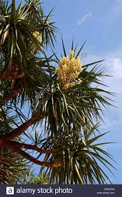nevada native plants joshua tree yucca brevifolia asparagaceae native to
