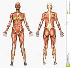 3d Head Anatomy Human Anatomy Human Anatomy Muscle System Female Anatomy Skecth