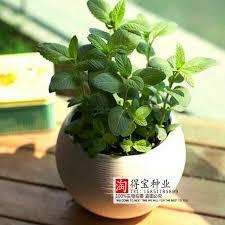 Fragrant Potted Plants - online shop peppermint seeds lemon fragrance mints home plant