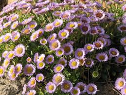 plants native to new york erigeron glaucus urban farm backyard garden pinterest water