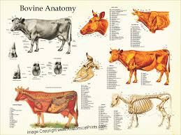 Dog Anatomy Poster Cow Anatomy Posters