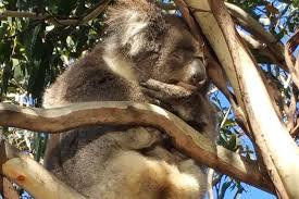 ecologist criticises pacific highway koala plan finds flaws