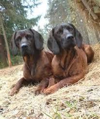 american eskimo dog yahoo 181 best my dream farm images on pinterest farms dog breeds and