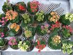 กุหลาบหินกระถางเล็ก ร้านต้นไม้น้องเบลล ์ศูนย์รวม ต้นไม้ ,ดอกไม้ ...