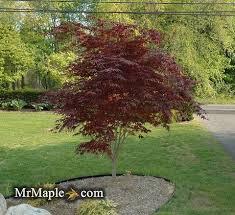 buy acer palmatum bloodgood japanese maple tree mr maple
