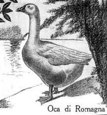 oche da cortile oca italiana oca romagnola o oca di roma oca padana o oca